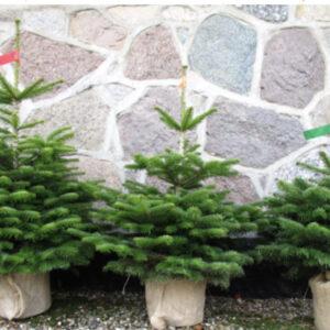 Norway Spruce (Rental)
